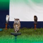 Open Farm Sunday owls