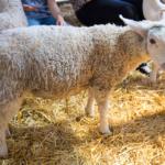Open Farm Sunday sheep