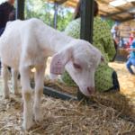 Open Farm Sunday my best friend goat