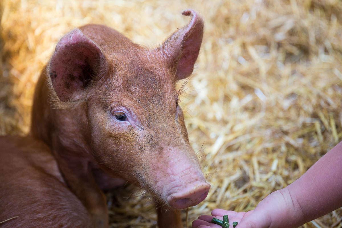 Open Farm Sunday pigs