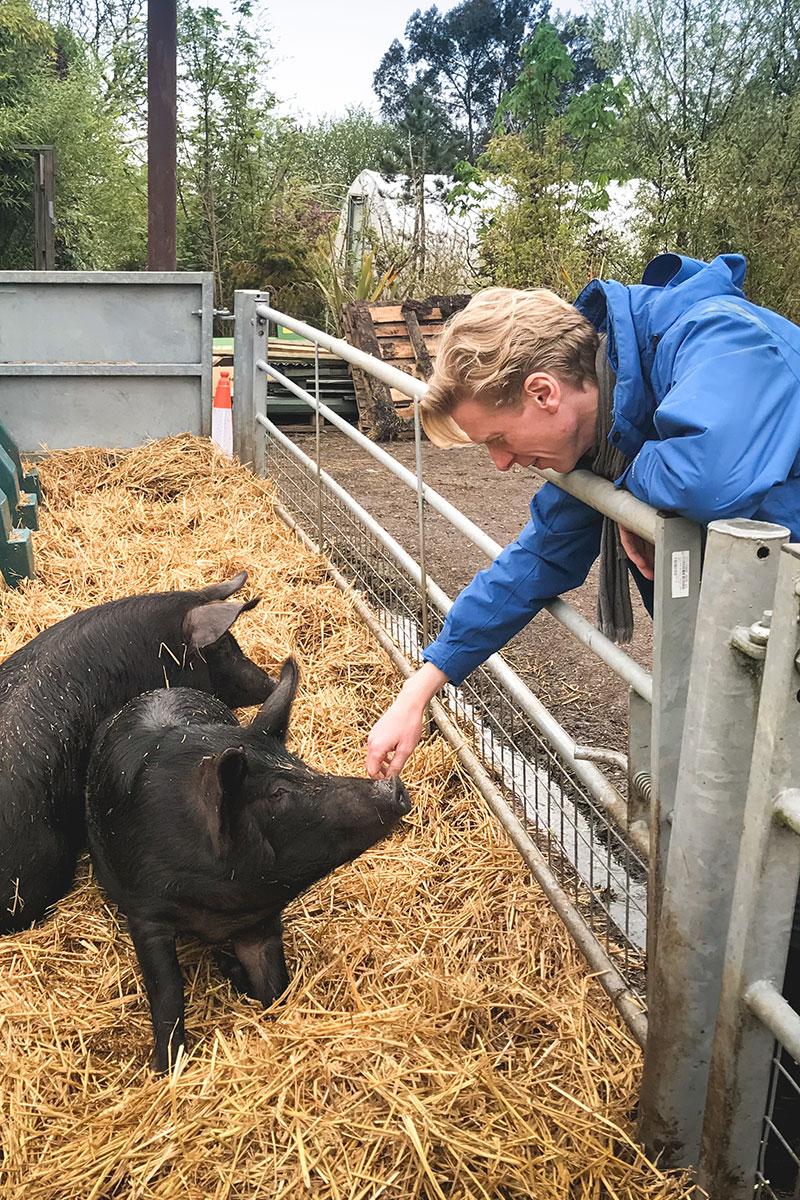 meeting pigs eating meat
