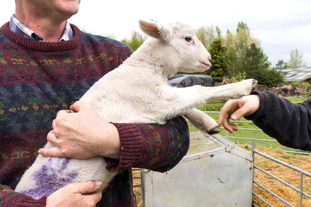 fist bump lamb