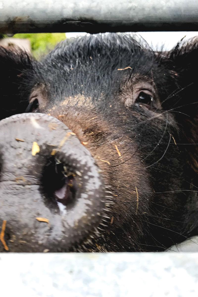 Tamworth black pig